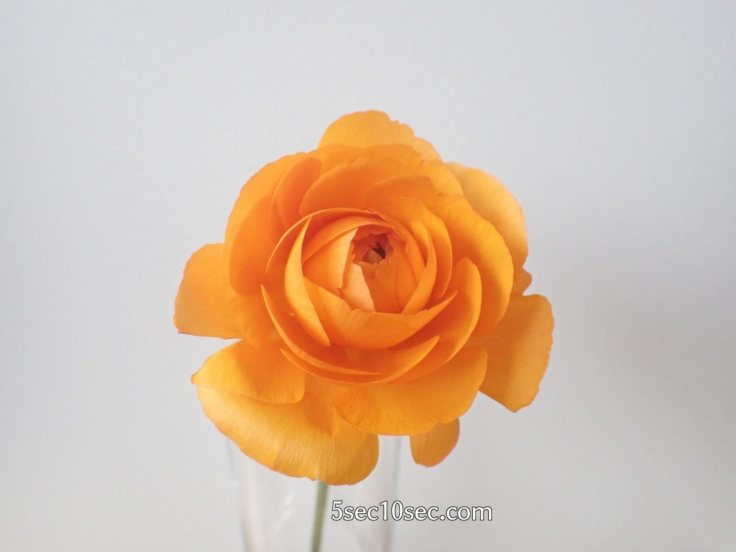 株式会社Crunch Style お花の定期便 Bloomee LIFE ブルーミーライフ レギュラープラン ラナンキュラス