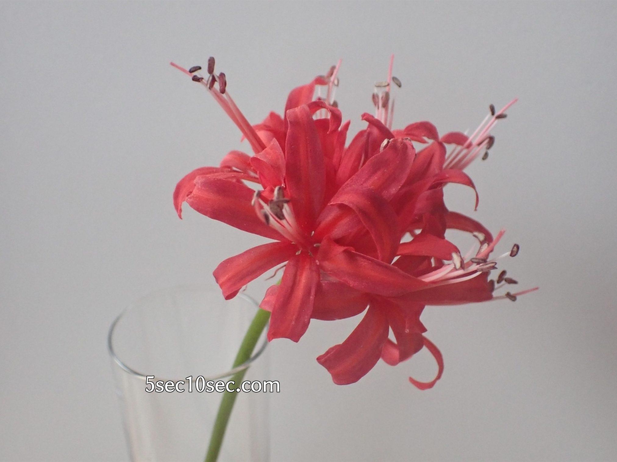 株式会社Crunch Style お花の定期便 Bloomee LIFE ブルーミーライフ 800円のレギュラープラン ダイヤモンドリリーを1輪挿しにするとこういう感じです