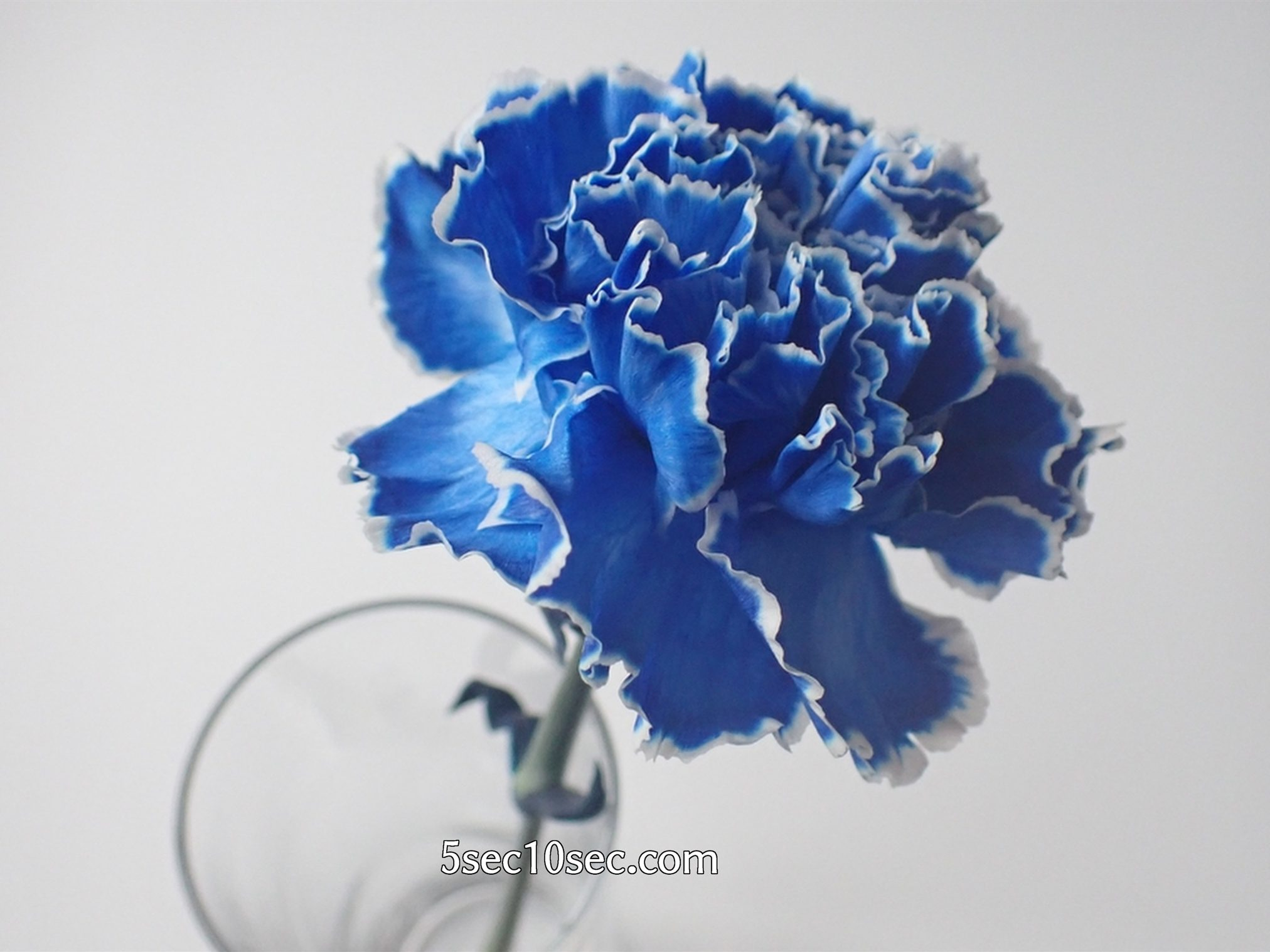 株式会社Crunch Style お花の定期便 Bloomee LIFE ブルーミーライフ 800円のレギュラープラン 染めカーネーション(青)を1輪挿しにするとこういう感じです