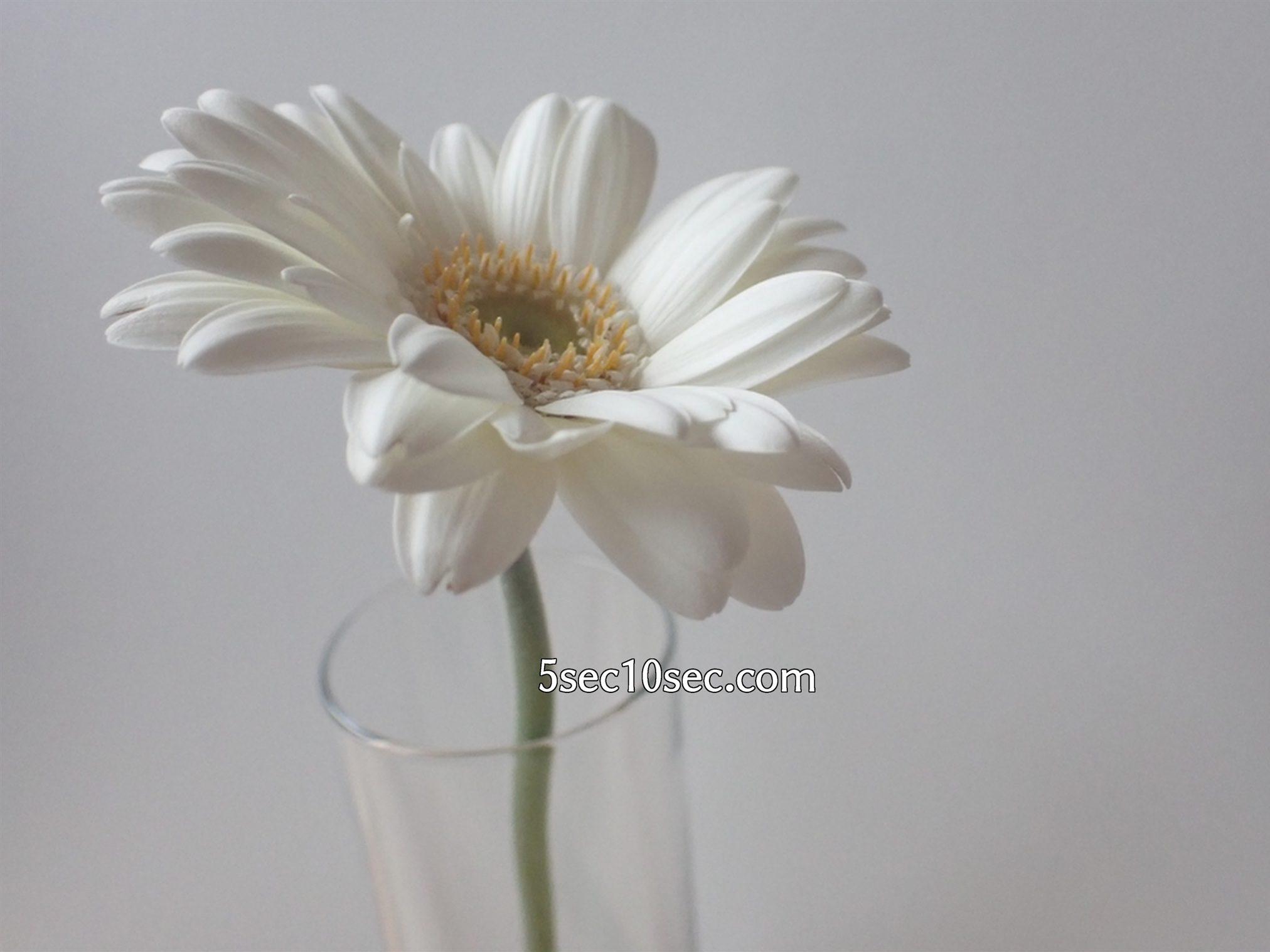 株式会社Crunch Style お花の定期便 Bloomee LIFE ブルーミーライフ 800円のレギュラープラン ガーベラを一輪挿しにするとこういう感じです