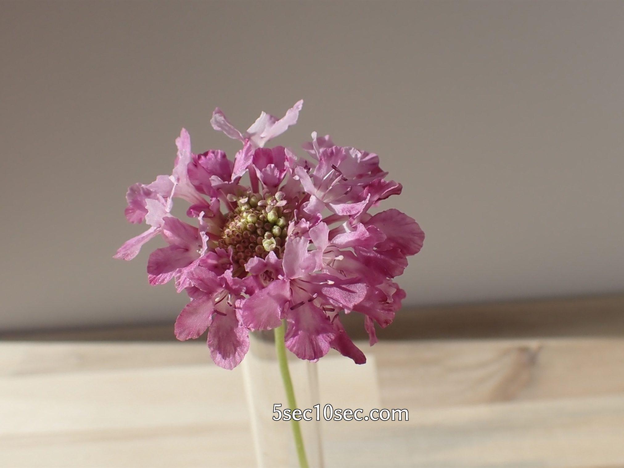 株式会社Crunch Style お花の定期便 Bloomee LIFE ブルーミーライフ 切り花のスカビオサ、マツムシソウのつぼみが咲いてきた、2020年12月16日撮影