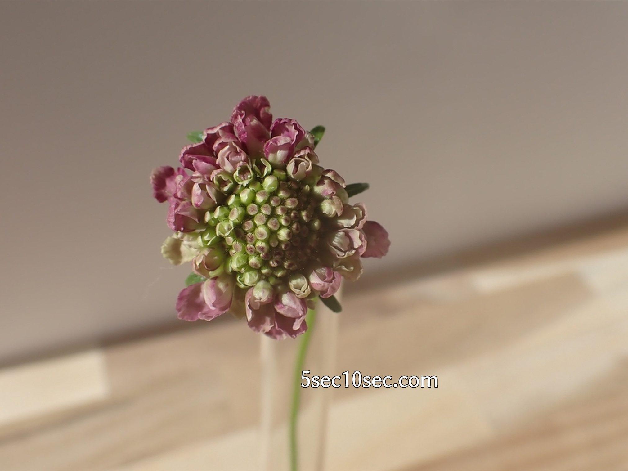 株式会社Crunch Style お花の定期便 Bloomee LIFE ブルーミーライフ スカビオサのつぼみが開いてきた、2020年11月27日撮影