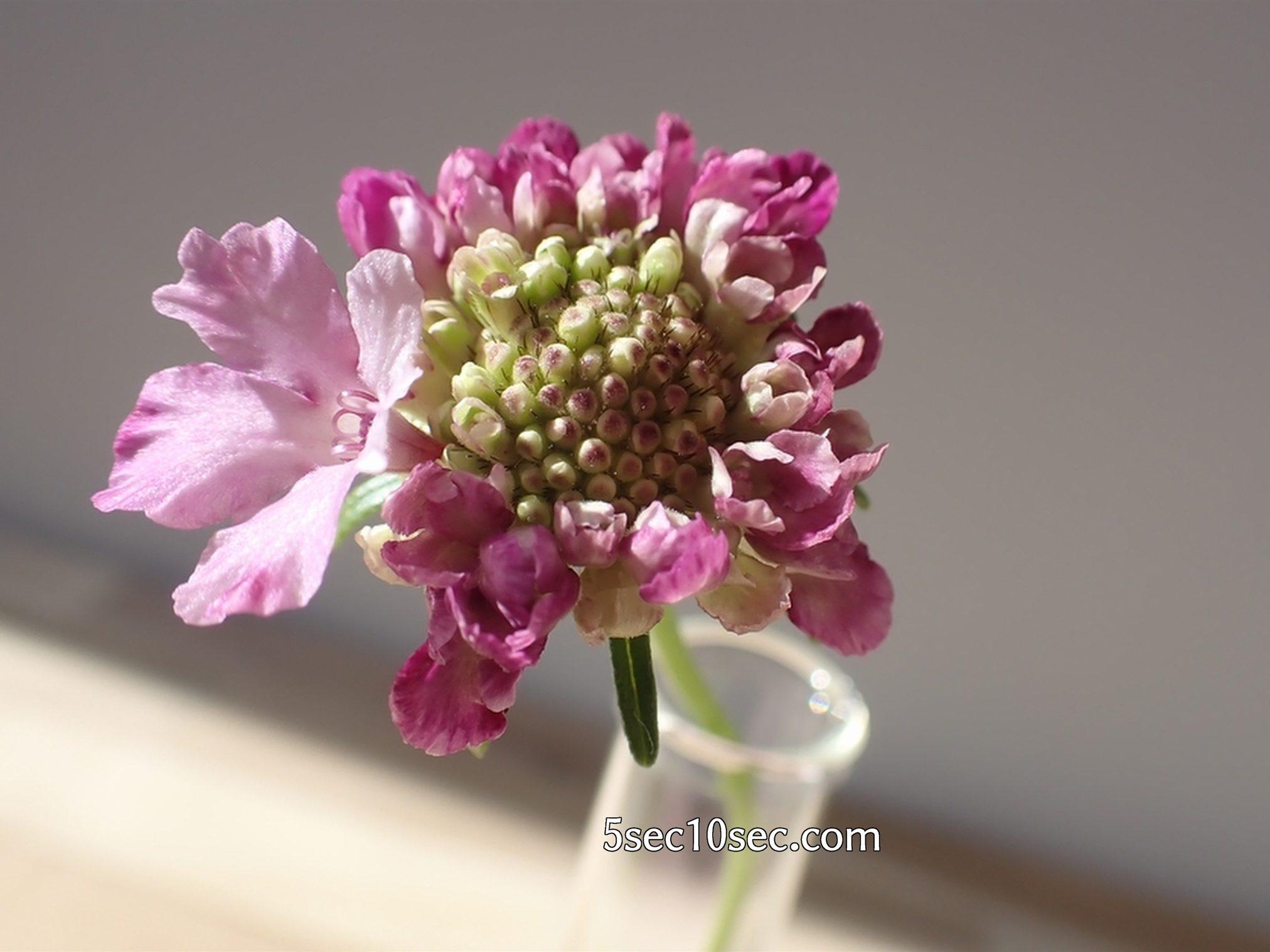 株式会社Crunch Style お花の定期便 Bloomee LIFE ブルーミーライフ スカビオサの花びらが開き始めた、2020年12月5日撮影