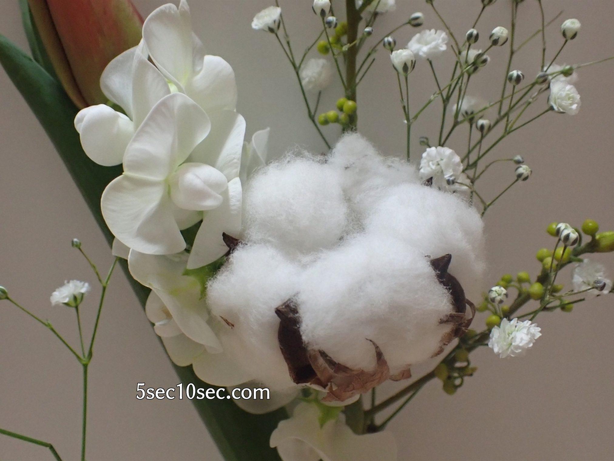 株式会社Crunch Style お花の定期便 Bloomee LIFE ブルーミーライフ 綿も、コットンフラワーという植物なのです