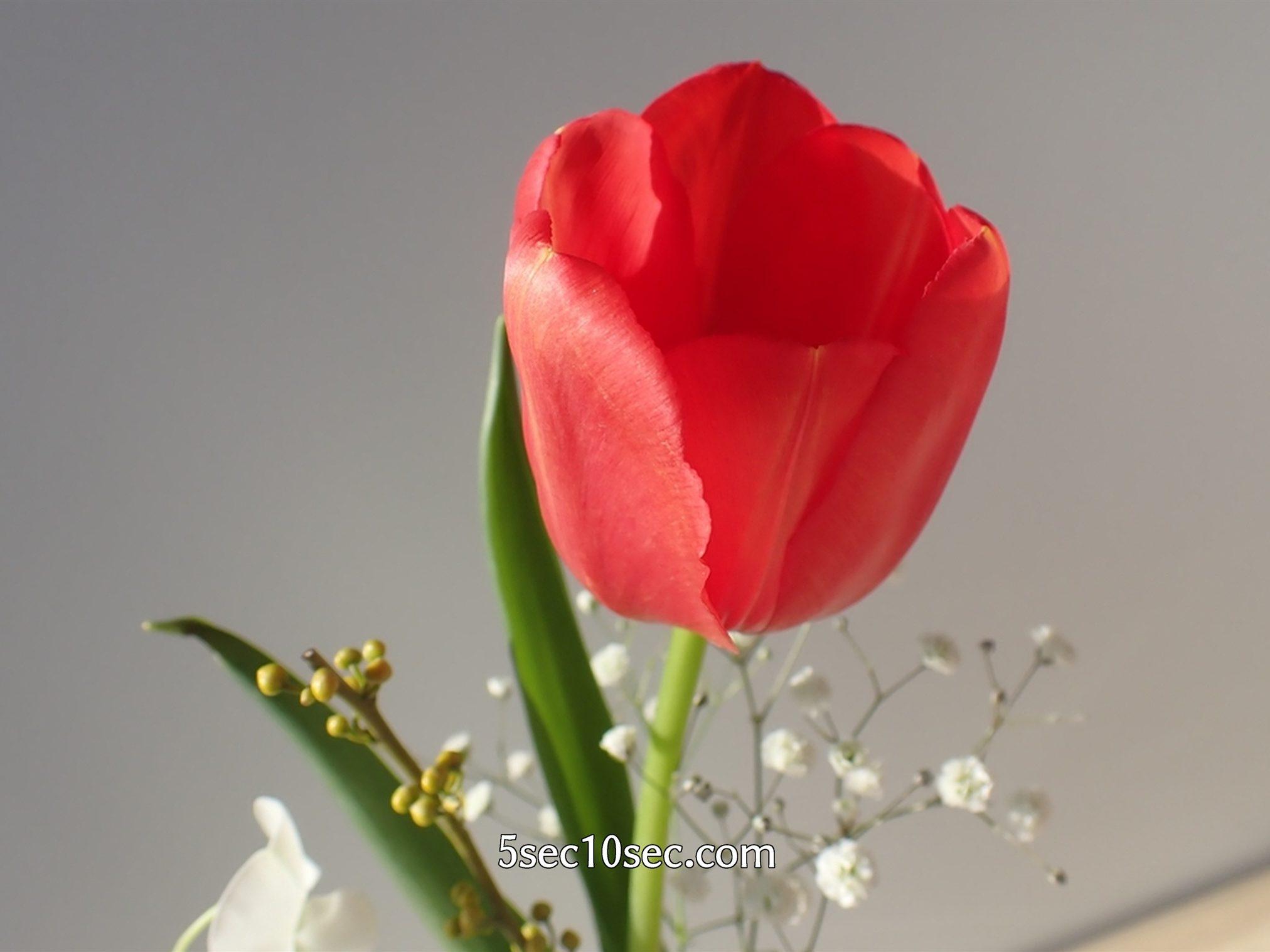 株式会社Crunch Style お花の定期便 Bloomee LIFE ブルーミーライフ 暖かく明るいところに置くと、1日のうちにすぐにチューリップのつぼみが開く