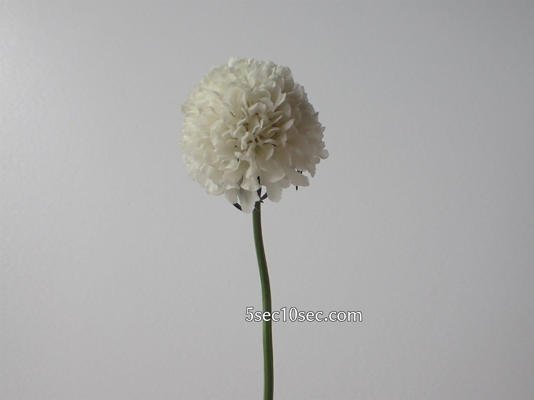 Bloomee LIFE(ブルーミーライフ)レギュラープラン 2021年1月下旬 今週のお花 スカビオサ
