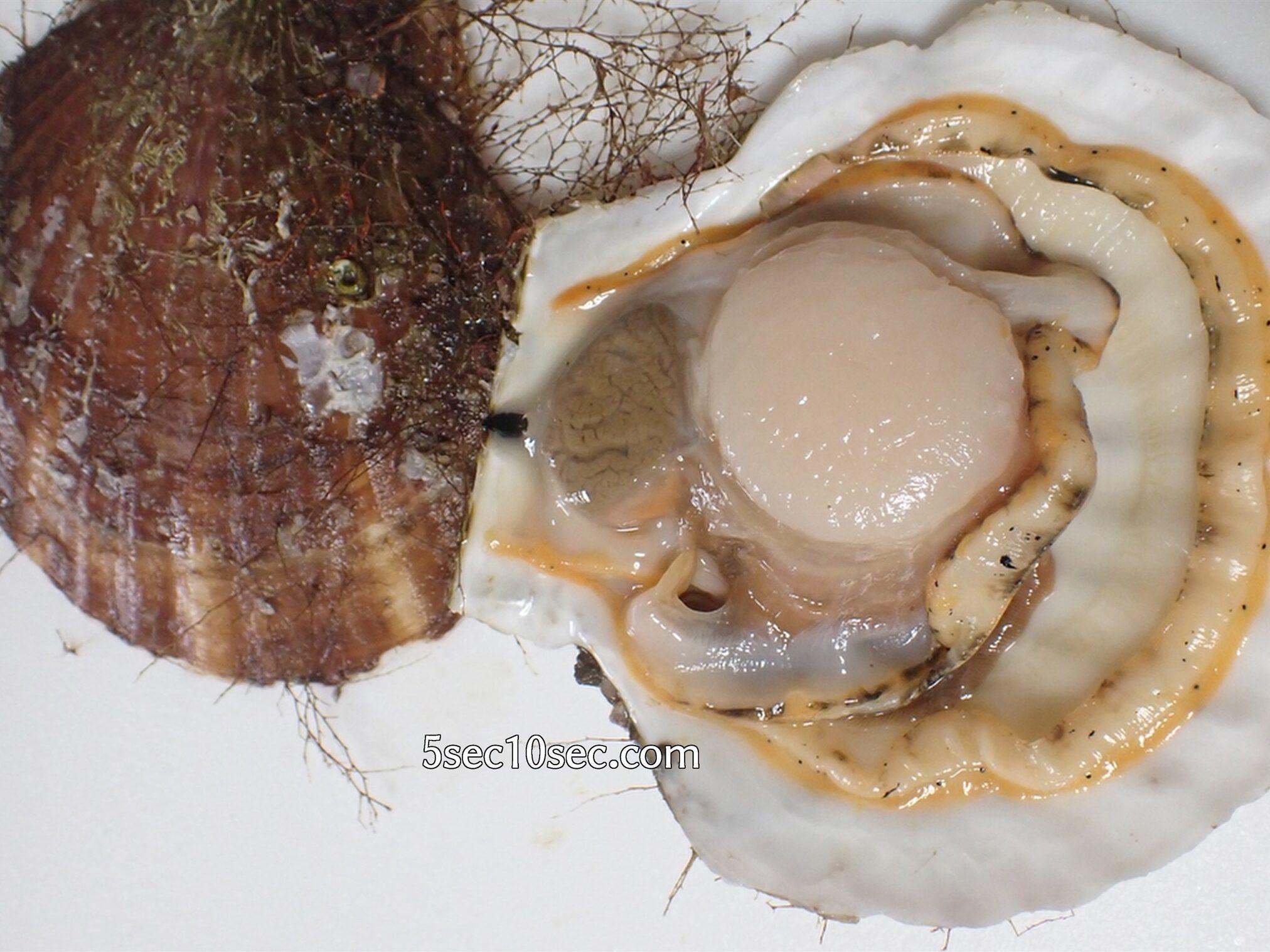 貝柱を貝に残してほたてを捌く方法 青森県 むつ湾産 活ホタテ